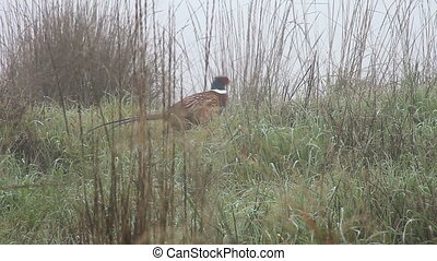 pheasant disappearing into grasses - a pheasant hurries away...