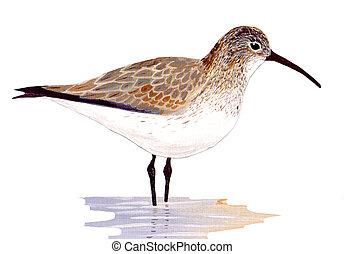 Dunlin - Calidris alpina - winter
