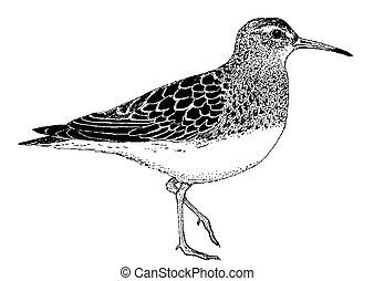 Rock Sandpiper - Calidris ptilocnemis