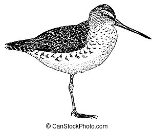 Long-billed Dowitcher - Limnodromus scolopaceous
