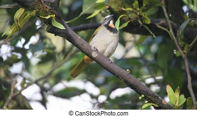 An alert Buff-throated Saltator fro - Alert Buff-throated...