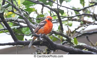 A bright Flame-coloured Tanager in panama