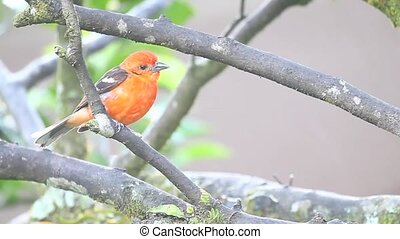A vivid Flame-coloured Tanager in Panama