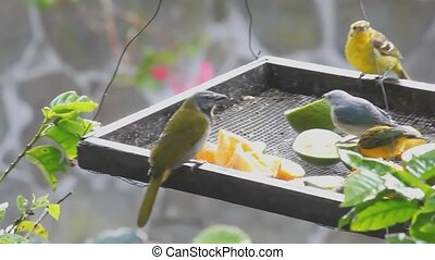 Tropical birds at a feeder in Panama