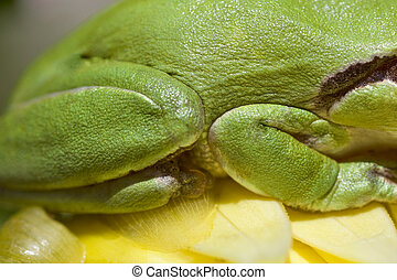 European tree frog - Close view of a green european tree...