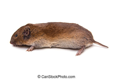 Woodland Vole Microtus pinetorum isolated on white...