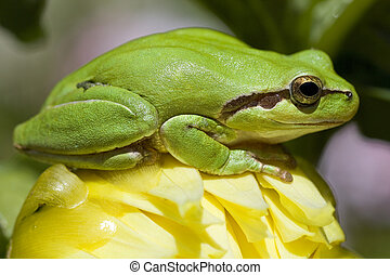 European tree frog - View of a green european tree frog on...