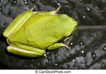 European tree frog - Close view of a common green european...