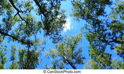 crowns of the trees and blue sky - view up to crowns of the...