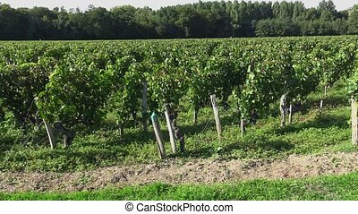 traveling along the vineyards - the grapes are ready to...
