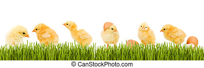 Lots of baby chicken and fresh green grass banner - isolated