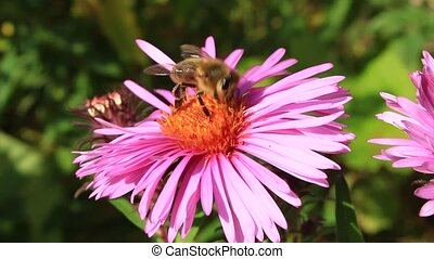 bee sitting on the asters - bees sitting on the aster and...