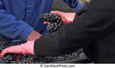 manual sorting of red grapes - the impurities are removed...