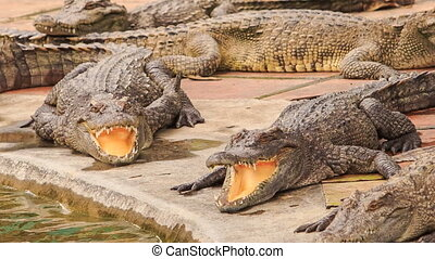 crocodiles lie with open jaws on edge of stone bank of pond