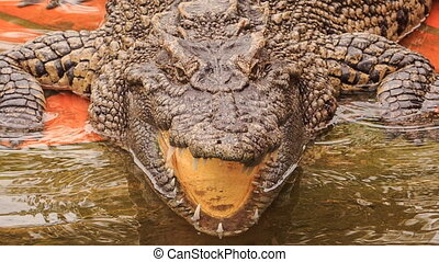 closeup terrible crocodile's head with open jaw in park -...