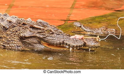 closeup side view crocodile catches piece of meat from rod -...