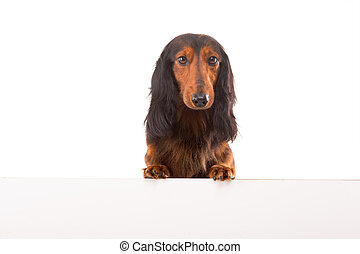 Teckel Dachshund - Funny Teckel Dachshund puppy over a white...