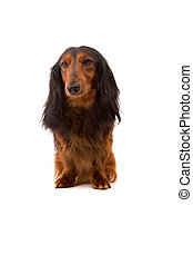 Teckel dachshund - Studio shot of a beautiful long hair...