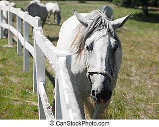 Portrait of Lipizzaner stallion standing behind fence,...