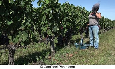 harvesting of grapes one by one
