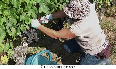 harvesting of grapes one by one - the grapes are deposited...