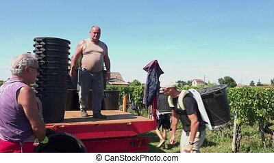 the grapes are brought to tractor - grape remains in its...