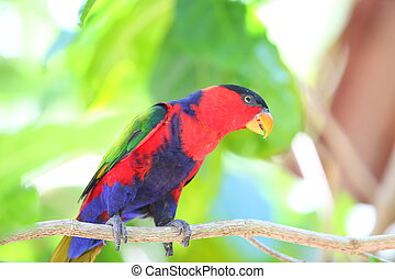 Black-capped Lory (Lorius lory) in Papua New Guinea