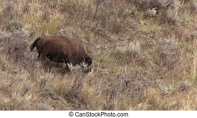 Bison - a bison in yellowstone national park