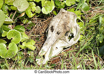 skull of canis animal - decomposed skull of canis animal in...