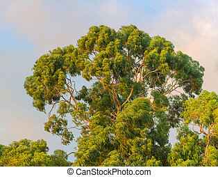 Crown of eucaliptus tree on natural background