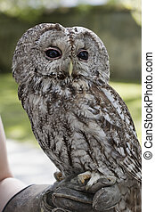 Tawny owl - Tawny Owl perched on falconer's glove