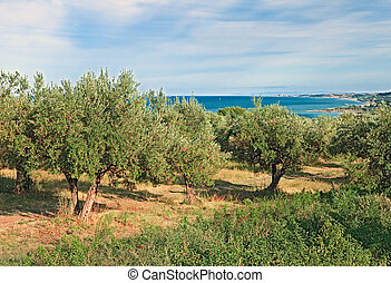 olive trees on the coast of sea in Chieti, Abruzzo, Italy -...