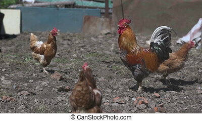 rooster and hens - Rooster and hens in a pen