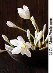 Potted white autumn crocus, meadow saffron or naked lady,...