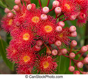red flowers gum tree eucalyptus phytocarpa hybrid australian native with buds and foliage