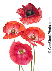 poppy - Studio Shot of Orange Colored Poppy Flowers Isolated...