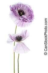 poppy - Studio Shot of Blue Colored Poppy Flowers Isolated...