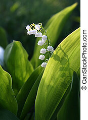 blooming Lily of the valley flover - Lily of the valley...