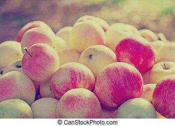 freshly picked  apples in sunshine light.