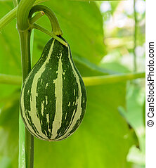 Ornamental gourd plant - Pumpkin or Ornamental gourd on its...