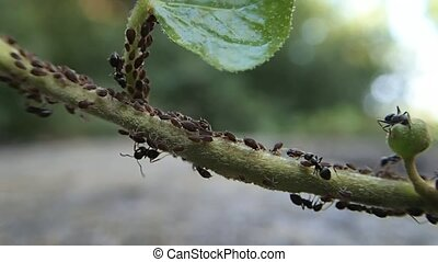 Ants and aphids - Some ants taking care of some aphids