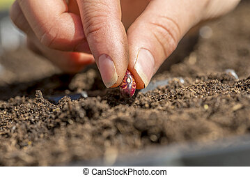 Closeup of female hand planting a seed of red bean in a...