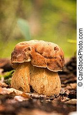 porcini, fungos