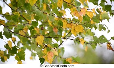 Birch leaves swaying on wind in early autumn - Birch leaves...