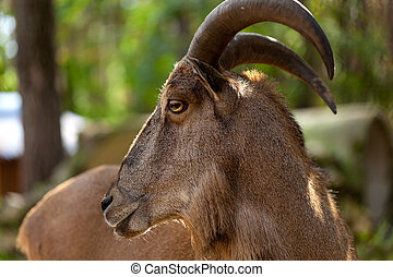 wild markhor in the forest - A portrait of a wild markhor in...