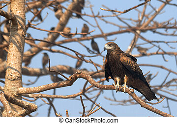 Black Kite on the tree with Rosy Starlings in Goa, India -...