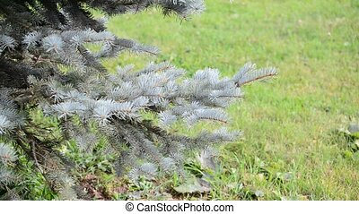 Blue spruce branches sways in breeze - Blue spruce branches...