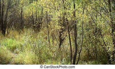Thickets of willow in early fall on cloudy day - Thickets of...