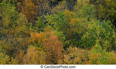 Autumn trees rustling - Colorful autumn trees with rustling...
