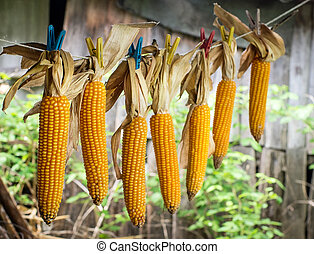 Drying corn  under a canopy.